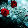 ღwhere the wild roses growღ