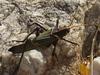 a tasty grasshopper
