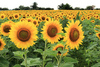 trip to sunflower farm~