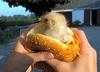 A Real Chicken Sandwhich!